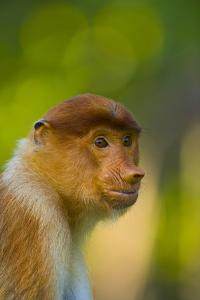 Proboscis Monkey (Nasalis Larvatus), Sabah Malaysia, Borneo by Juan Carlos Munoz