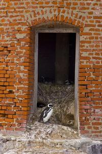 Pingüino De Magallanes (Spheniscus Magellanicus) by Juan Carlos Muñoz Robredo