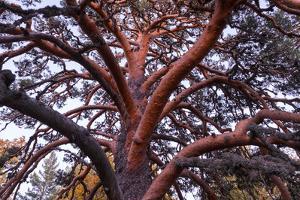 Scots pine, Laguna Negra y Circos Glaciares de Urbion natural park, Spain by Juan Carlos Munoz
