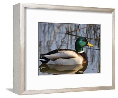Mallard Duck Drake (Anas Platyrynchos) Spain
