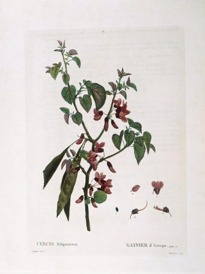 Judas Tree (Cercis Siliquastrum)--Giclee Print