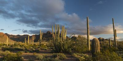 Arizona. Sunset over Desert Habitat, Organ Pipe Cactus National Monument