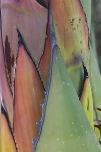 Baja California, Mexico. Agave detail. by Judith Zimmerman