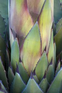 Baja California, Mexico. Colorful Agave detail. by Judith Zimmerman