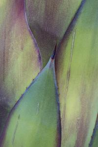 Baja California, Mexico. Colorful Agave detail by Judith Zimmerman