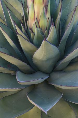 Baja California, Mexico. Green Agave leaves, detail