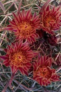 Baja California, Mexico. Red-Spined Barrel Cactusflowering by Judith Zimmerman