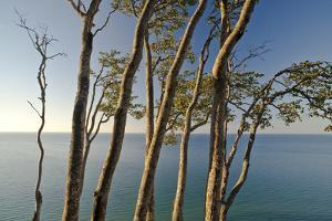 Beech Trees on Cliffs, Log Slide Overlooking Lake Superior, Pictured Rocks National Lakeshore by Judith Zimmerman