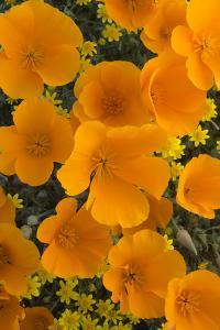California. California Poppies and Goldfields Blooming in Early Spring in Antelope Valley by Judith Zimmerman