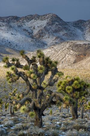 California. Death Valley National Park. Joshua Trees in the Snow, Lee Flat by Judith Zimmerman