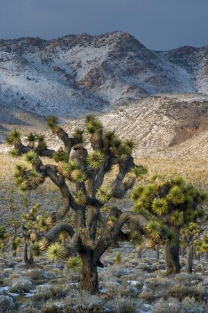 California. Death Valley National Park. Joshua Trees in the Snow, Lee Flat