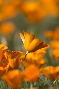 California. Detail of California Poppy , Antelope Valley by Judith Zimmerman