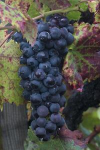 California. Early Morning Dew on Grapes on Vine in Vineyard in Sonoma County by Judith Zimmerman