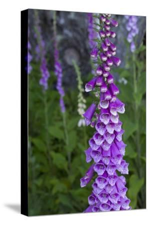 California. Foxglove, Bald Hills Road, Redwood National and State Park