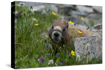 Colorado, American Basin, Yellow-Bellied Marmot Among Grasses and Wildflowers in Sub-Alpine Regions