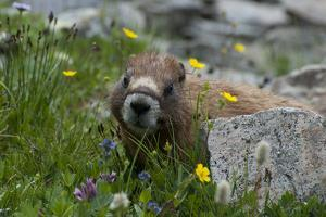 Colorado, American Basin, Yellow-Bellied Marmot Among Grasses and Wildflowers in Sub-Alpine Regions by Judith Zimmerman