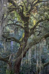 Florida, Oak Draped with Spanish Moss and Other Tropical Vegetation by Judith Zimmerman