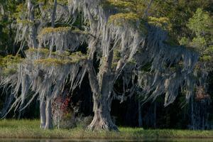 Florida, Pond Cyprus and Spanish Moss in Swamp by Judith Zimmerman