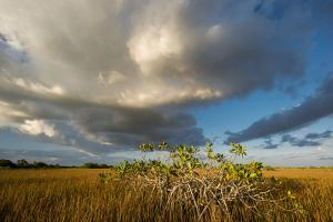 Florida. Sunset on Red Mangroves in Everglades National Park by Judith Zimmerman