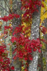 Maine, Acadia National Park, Autumn Foliage by Judith Zimmerman