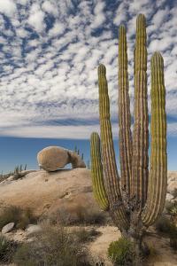 Mexico, Baja California, Cardon Cactus Surround Boulder Formations Near Catavina by Judith Zimmerman