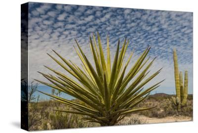 Mexico, Baja California. Yucca and Cardon Cactus with Clouds in the Desert of Baja
