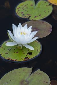 Michigan, Pictured Rock National Lakeshore. White Water Lily Flowering in a Pond by Judith Zimmerman