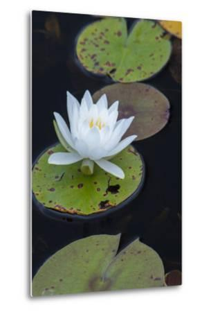 Michigan, Pictured Rock National Lakeshore. White Water Lily Flowering in a Pond