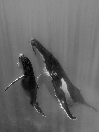 Pacific Islands, Tonga. Mother and Calf, Humpback Whales