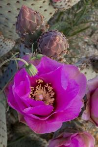 USA, California. Beavertail prickly pear cactus in bloom, Anza-Borrego Desert State Park by Judith Zimmerman