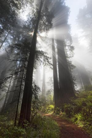 USA, California. Sunlight streaming through the redwood forest, Redwood National Park