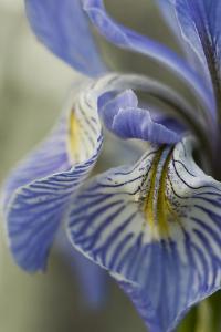 Utah, Manti-La-Sal National Forest. Detail of Wild Iris in Early Spring by Judith Zimmerman