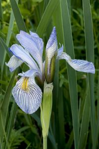 Utah, Manti-La-Sal National Forest. Wild Iris with Bud in Early Spring by Judith Zimmerman