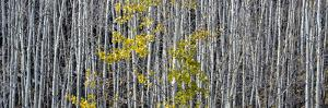 Utah, Mostly Bare Aspen Trees on Boulder Mountain by Judith Zimmerman