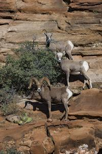 Utah. Two Female and One Male Big Horn Sheep on Red Rocks with Bush by Judith Zimmerman