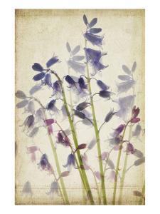 Blue Bells by Judy Stalus