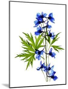 Blue Delphinium by Judy Stalus
