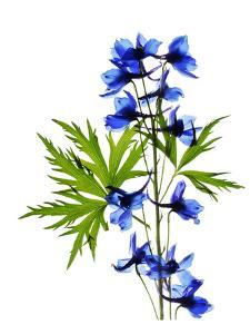 Blue Delphinium by Judy Stalus