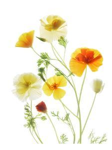 California Poppy Garden II by Judy Stalus