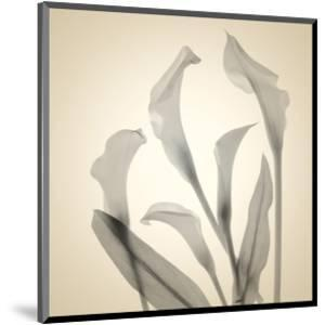 Calla Lilies by Judy Stalus