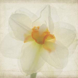 Double Daffodil I by Judy Stalus