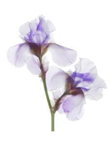Grape Iris by Judy Stalus