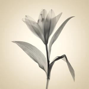 Lemon Lily by Judy Stalus