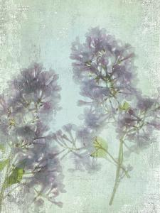 Lilac by Judy Stalus