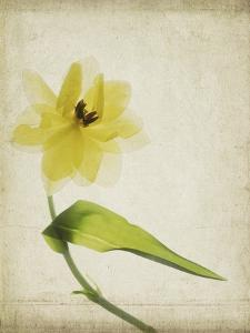 Parchment Flowers VII by Judy Stalus