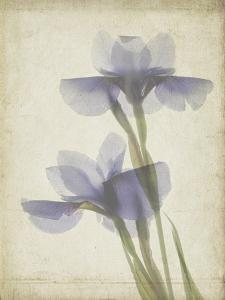 Parchment Flowers VIII by Judy Stalus