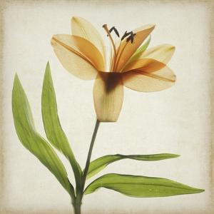Parchment Flowers XI by Judy Stalus