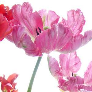 Parrot Tulips by Judy Stalus