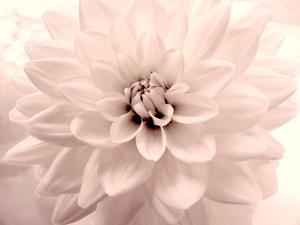Pink Dahlia 2 by Judy Stalus
