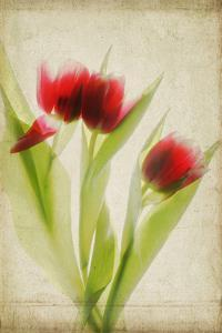 Red Tulips III by Judy Stalus